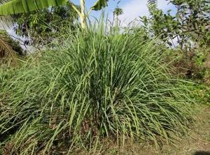 Lemongrass Aroma