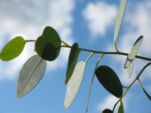 Eucalyptus Aroma